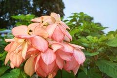 Rosa Dona Queen Sirikit-Blume lizenzfreies stockbild
