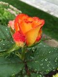 Rosa dopo la pioggia Fotografia Stock Libera da Diritti
