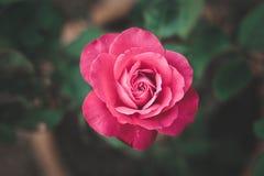 Rosa dopo la pioggia fotografia stock