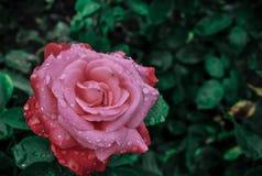 Rosa dopo la tempesta della pioggia immagini stock