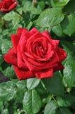 Rosa dopo una pioggia Immagini Stock