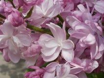 Rosa doppeltes lila Makro Lizenzfreie Stockbilder