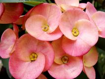 Rosa Dornenkrone der Blumenblüte-c$auch bekannt als Euphorbiengummi milii und Christus-Dorn lizenzfreies stockfoto
