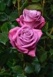 Rosa dos imagenes de archivo