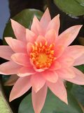 Rosa dos lótus de Topview Foto de Stock