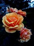 Rosa dourada fotos de stock royalty free