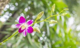 Rosa droppe för vatten för orkidéblommanärbild, blad och bokehbackgroun Fotografering för Bildbyråer