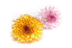 Rosa e amarelo do crisântemo isolados em um fundo branco Fotos de Stock