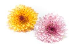 Rosa e amarelo do crisântemo isolados em um fundo branco Foto de Stock Royalty Free