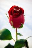 Rosa e anel. Inverno. Fotografia de Stock