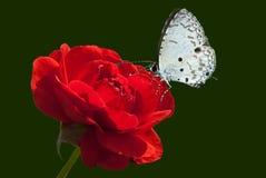 Rosa e borboleta fotografia de stock