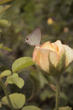 Rosa e borboleta Imagens de Stock Royalty Free
