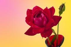 Rosa e botão vermelhos no fundo cor-de-rosa e amarelo Imagens de Stock Royalty Free