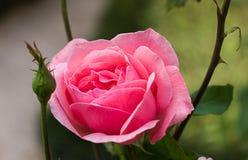 Rosa e botões do rosa imagens de stock