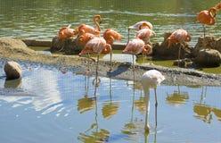 Rosa e branco do flamingo Fotografia de Stock Royalty Free