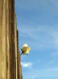 Rosa e cielo Immagini Stock Libere da Diritti
