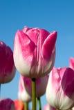 Rosa e cielo blu Fotografia Stock Libera da Diritti