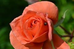 Rosa e coccinella Fotografia Stock