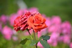 Rosa e coccinella Fotografie Stock Libere da Diritti
