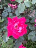 Rosa e corona fotografia stock libera da diritti