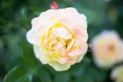 Rosa e espaço do amarelo para o texto Foto de Stock
