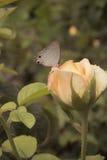 Rosa e farfalla Immagini Stock Libere da Diritti