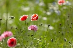Rosa e fiori rossi del papavero nel prato sui precedenti di erba verde vaga con bello bokeh immagini stock