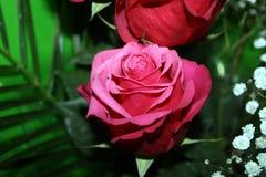 Rosa e foglie verdi meravigliose di rosa Immagine Stock Libera da Diritti