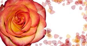 Rosa e folhas imagens de stock royalty free