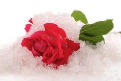 Rosa e gelo fotografia de stock