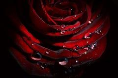 Rosa e gocce Fotografia Stock Libera da Diritti