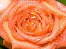 Rosa e gotas da água Foto de Stock