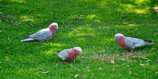 Rosa e Grey Galah: Animais selvagens do pássaro da Austrália Ocidental Fotografia de Stock