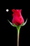 Rosa e luna piena Fotografia Stock