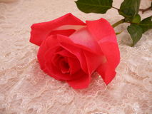 Rosa e merletto Fotografie Stock