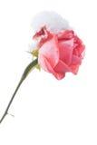 Rosa e neve - com trajeto de grampeamento Imagens de Stock Royalty Free
