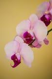 Rosa e orquídeas de Levender Foto de Stock Royalty Free