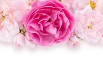 Rosa e pallido luminosi - rose rosa sui precedenti bianchi immagine stock libera da diritti