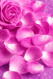 Rosa e petali Immagine Stock Libera da Diritti