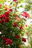 rosa e rose rampicanti rosse in primavera nel giardino botanico Fondo verde fotografia stock libera da diritti
