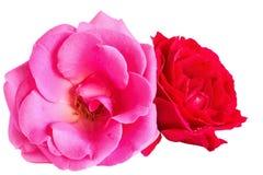 Rosa e rose rosse su un fondo bianco Fotografia Stock