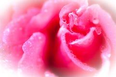Rosa e rugiada Fotografia Stock