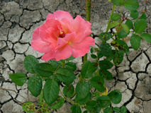 Rosa e terra seca fotografia de stock