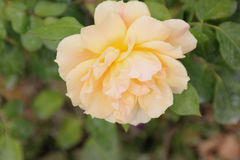 Rosa 'Easy Going' royalty free stock photos