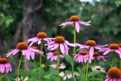 Rosa Echinaceablumen auf grünem Naturhintergrund stockfotos
