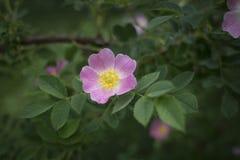 A rosa eglantéria cor-de-rosa aumentou Foto de Stock Royalty Free