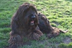 Rosa, eine alte englische Schäferhund-goldene Retriever-Mischung Lizenzfreie Stockfotografie