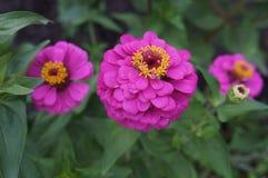 Rosa elegante di zinnia con i fiori concentrare gialli Fotografie Stock Libere da Diritti