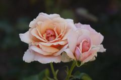 Rosa em Merrick Rose Garden imagem de stock royalty free