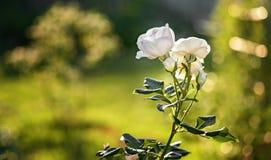 Rosa em um dia ensolarado no jardim fotografia de stock royalty free
